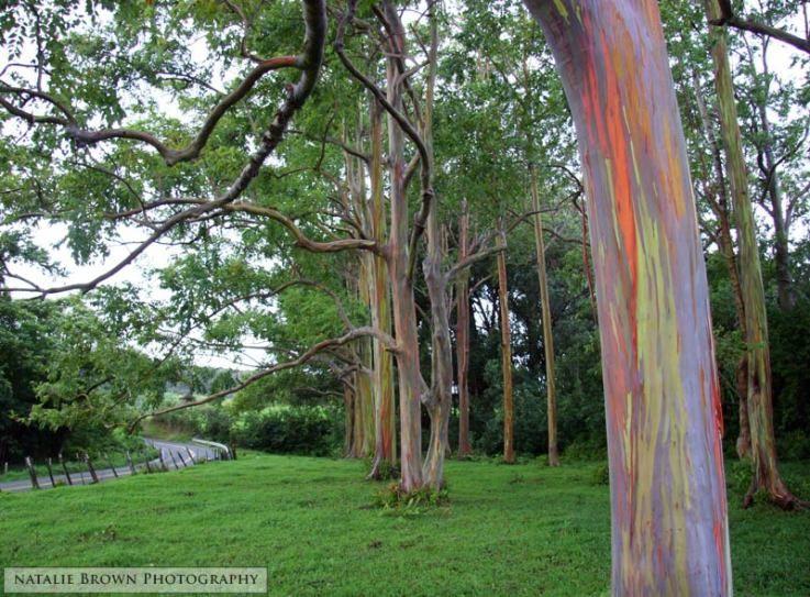 Rainbow Eucalyptus Trees On The Road To