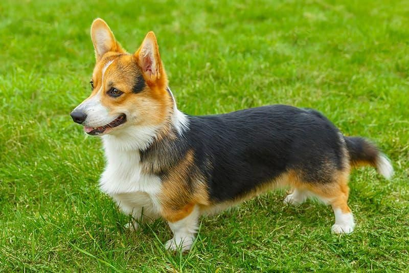 All The Things We Like About The Small Corgi Puppies