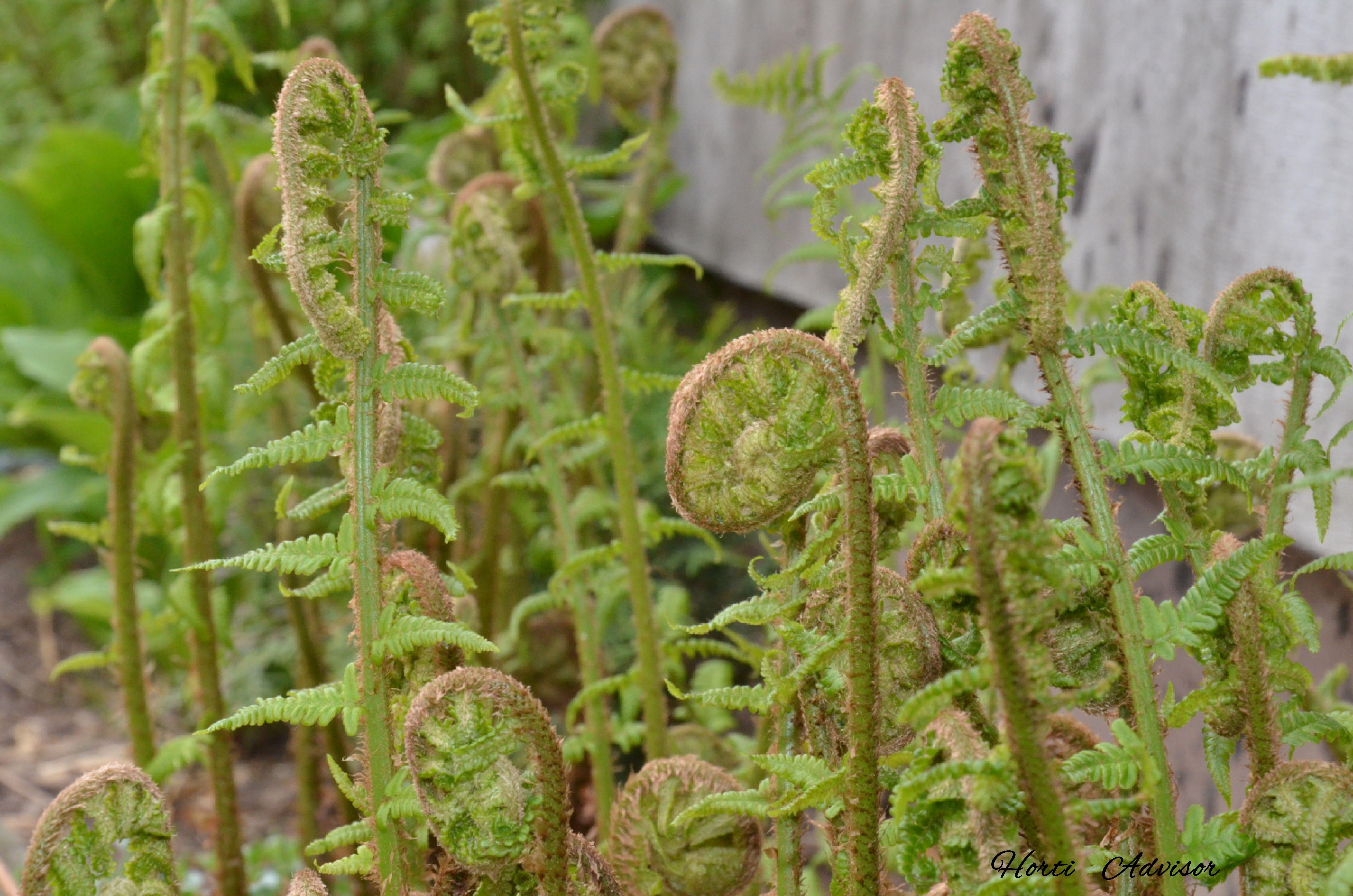 Matteuccia Struthiopteris L Todaro Fern Pioropusznik Strusi In 2020 Horticulture Floristry Herbs