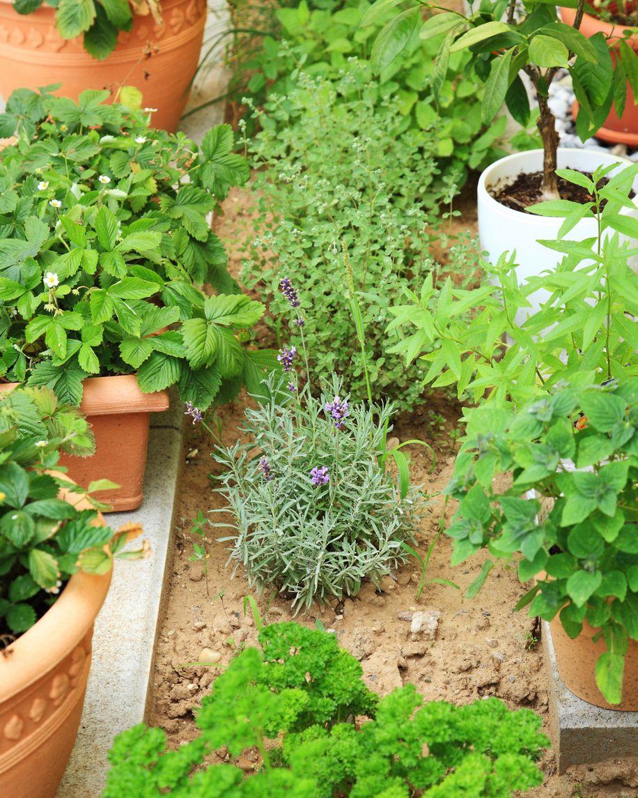 Zone 7 Herb Plants: Choosing Herbs For Zone 7 Gardens ...
