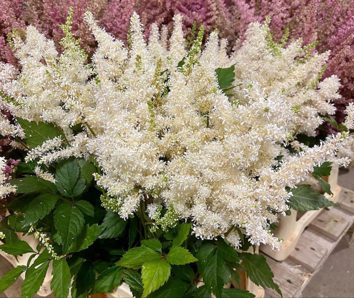 Astilbe Younique White In 2020 White Flower Farm Astilbe Flower Astilbe