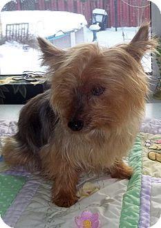 Mississauga On Yorkie Yorkshire Terrier Meet Gidget A Dog For Adoption Dog Adoption Yorkshire Terrier Yorkie