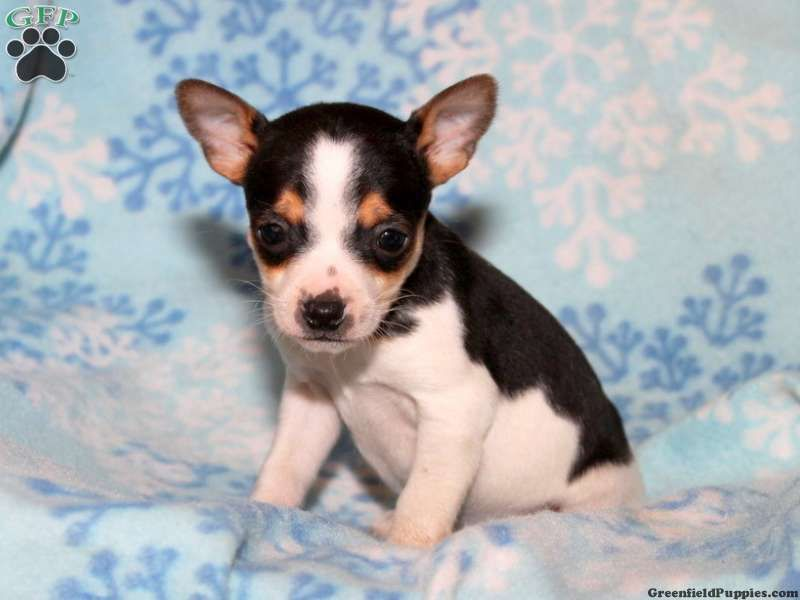 Rover Toy Fox Terrier Puppy For Sale From Oxford Pa Toy Fox