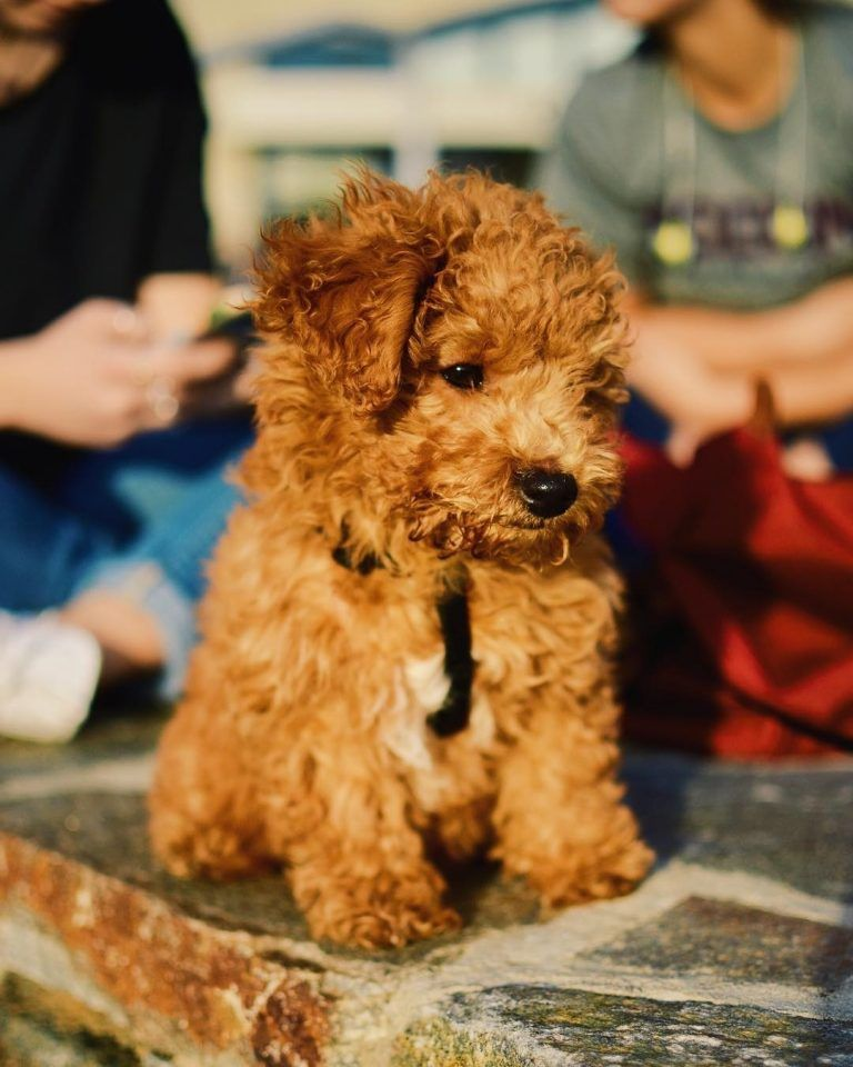 Bichon Poodle Mix Truth About Poochon Dogs Bichon Poodle Mix Bichon Frise Puppy Poodle Mix