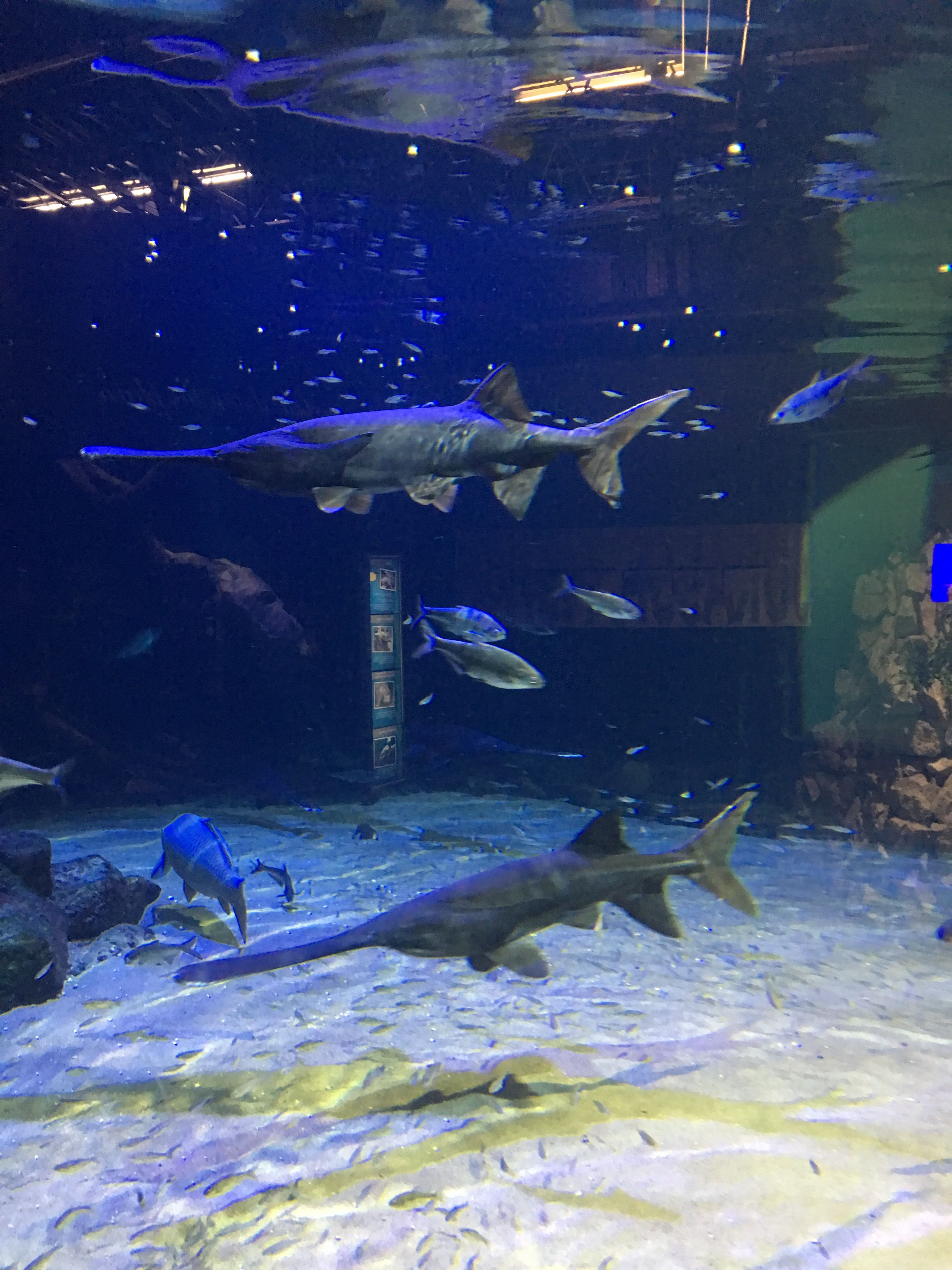 PaddleFish Oklahoma Ok Aquarium pics Pinterest