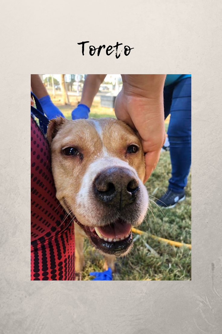Toreto Is A Sweetboy Who Gets Along With Other Dogs And Cats And Kids And Is Ready For The Holiday With Images Dog Organization Small Dog Adoption Animal Shelters Near Me