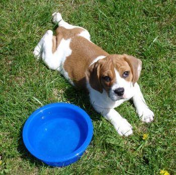 Beabull Beagle X Bulldog Mix Info Temperament Training