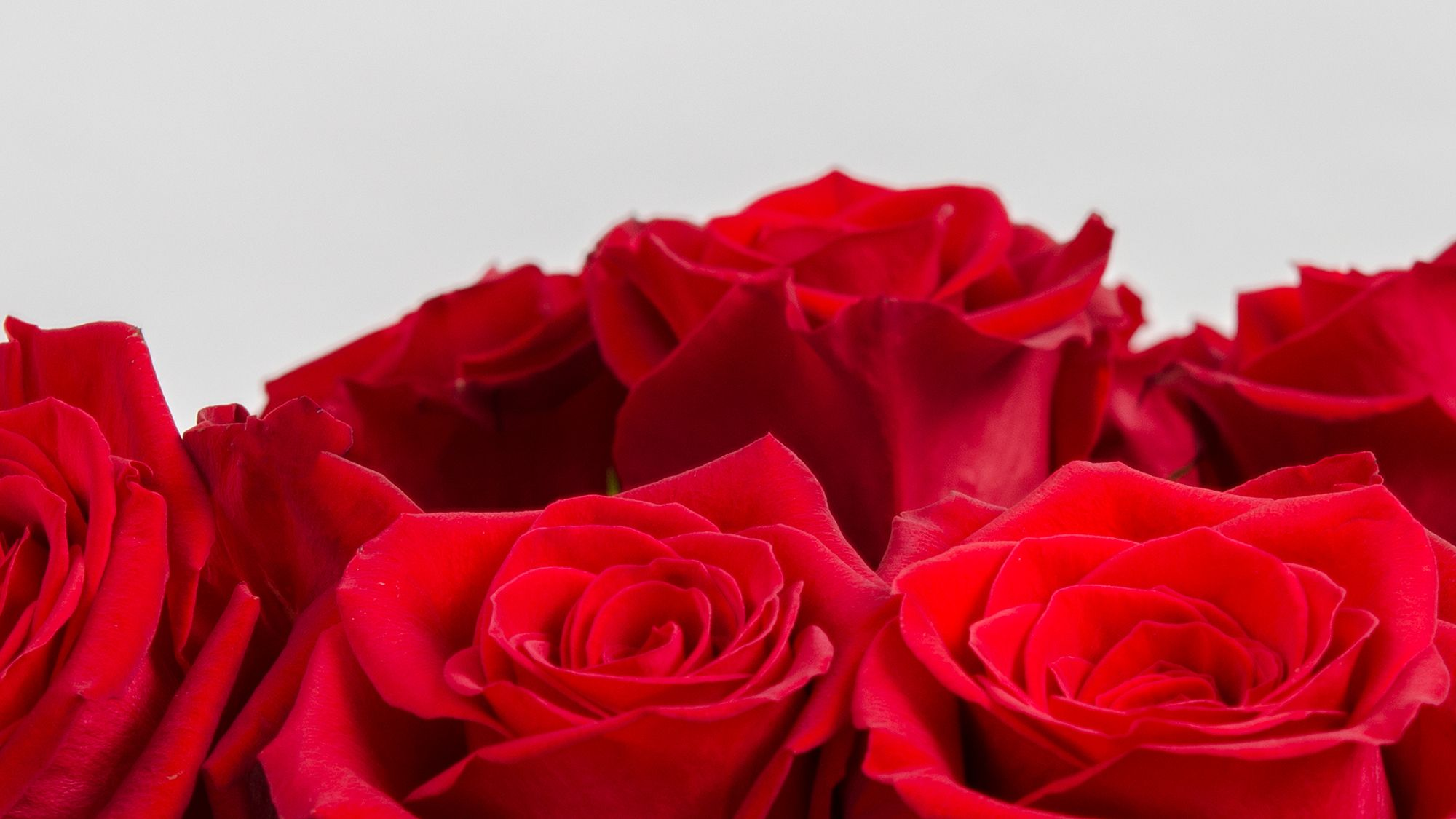Freedom is the perfect red rose grown by royal flowers this freedom is the perfect red rose grown by royal flowers this bright red rose biocorpaavc Choice Image
