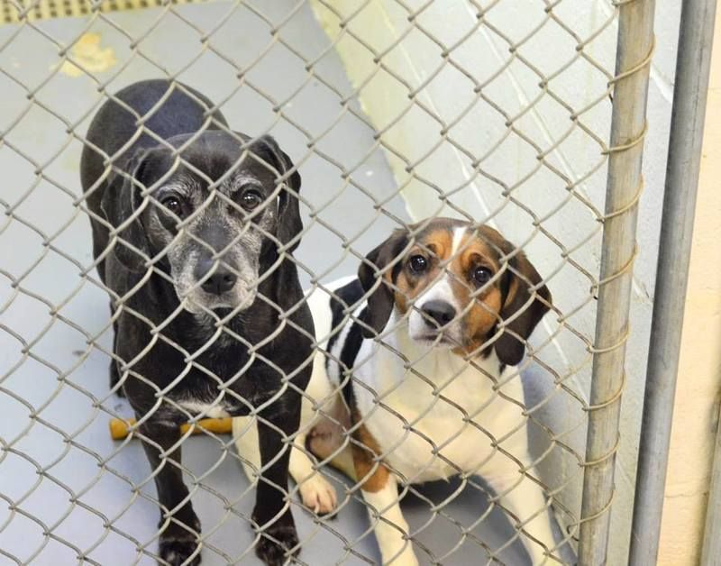 Wvirginia Bondedpair Id 079o 077o Bailey Butler Are Adorable Beagle Mixes Who Came From A Hoarding Situation Baile Animal Rescue Homeless Pets Pet Dogs