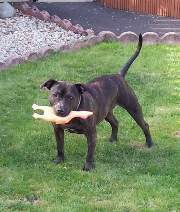 Full staffy Very good dog Price £ 150 in Blantyre Pets
