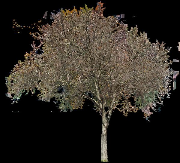 Platanus Occidentalis Winter Deciduous Trees Tree Tree Textures