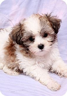 Coton De Tulear Shih Tzu Mix Puppy For Adoption In St Louis