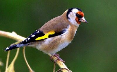 Chardonneret elegant oiseaux de france pinterest for Oiseaux du sud de la france