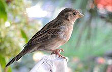 Passer Domesticus Wikipedia La Enciclopedia Libre En 2020 Gorrion Pinturas De Aves Pajaros