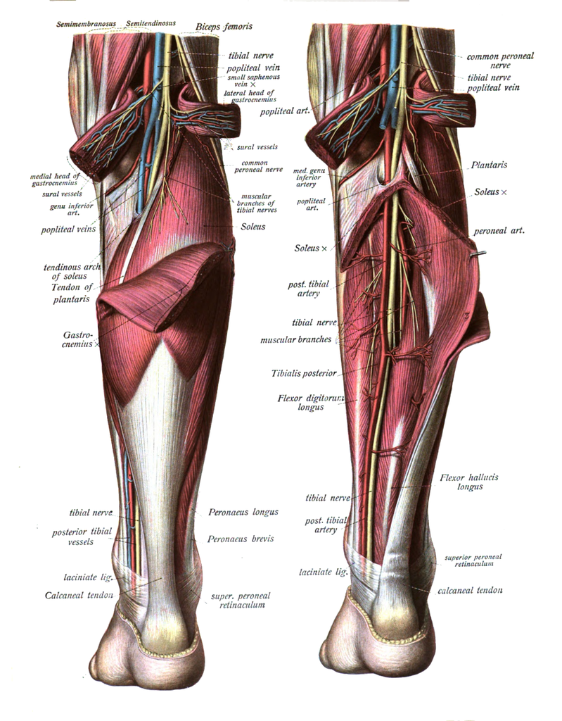 Gastrocnemius Muscle Wikipedia The Free Encyclopedia Muscle Leg