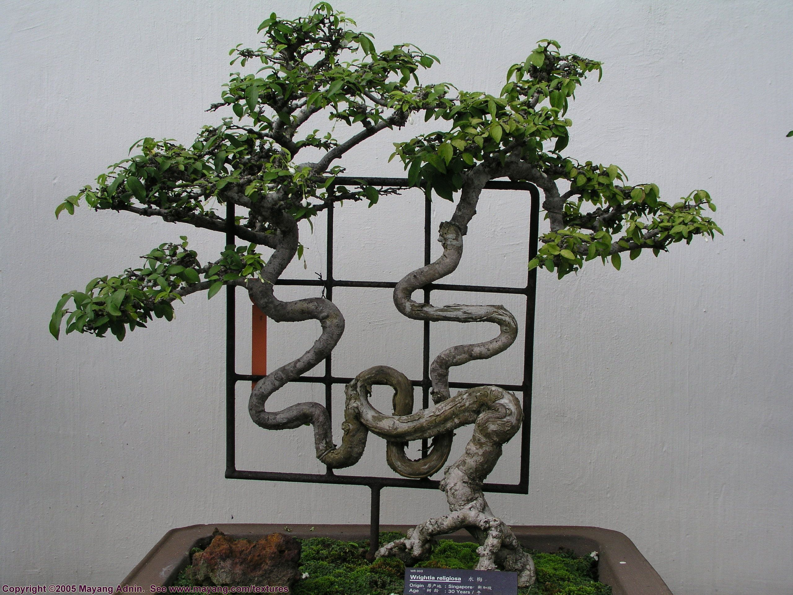 1000 Images About BONSAI TANUKI On Pinterest
