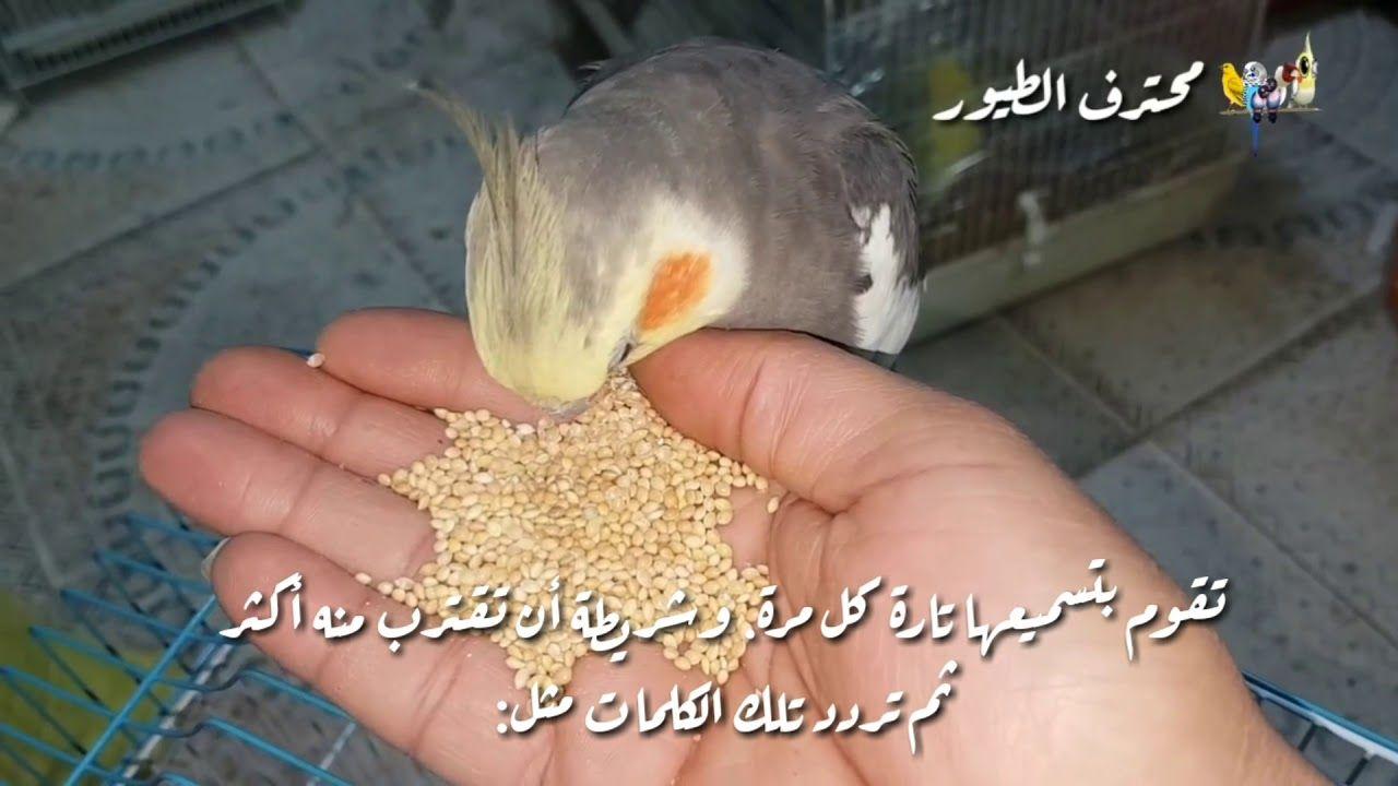كيف اجعل طائر الكوكتيل يحفظ بعض الاغاني Birds