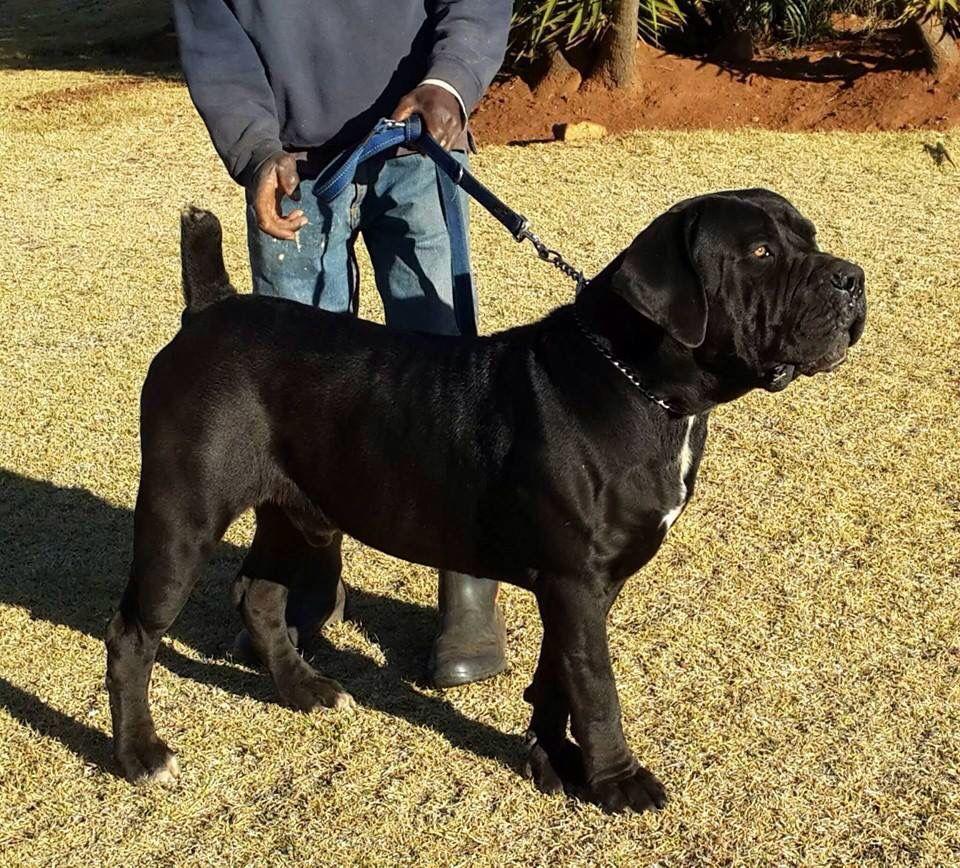 Boerboel Black Boerboel Dogs Beautiful Dogs Dog Lovers