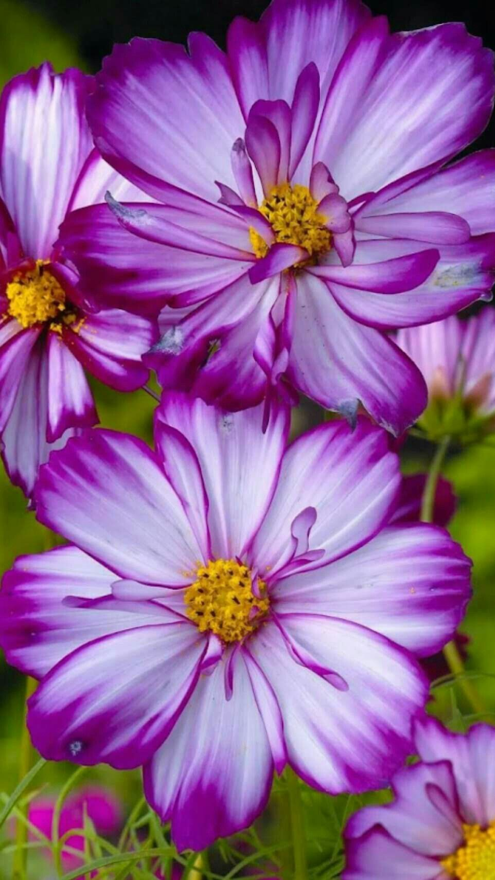 Pin By Rozinete Garcia On Flores Cosmos Flowers Purple Flowers Plants