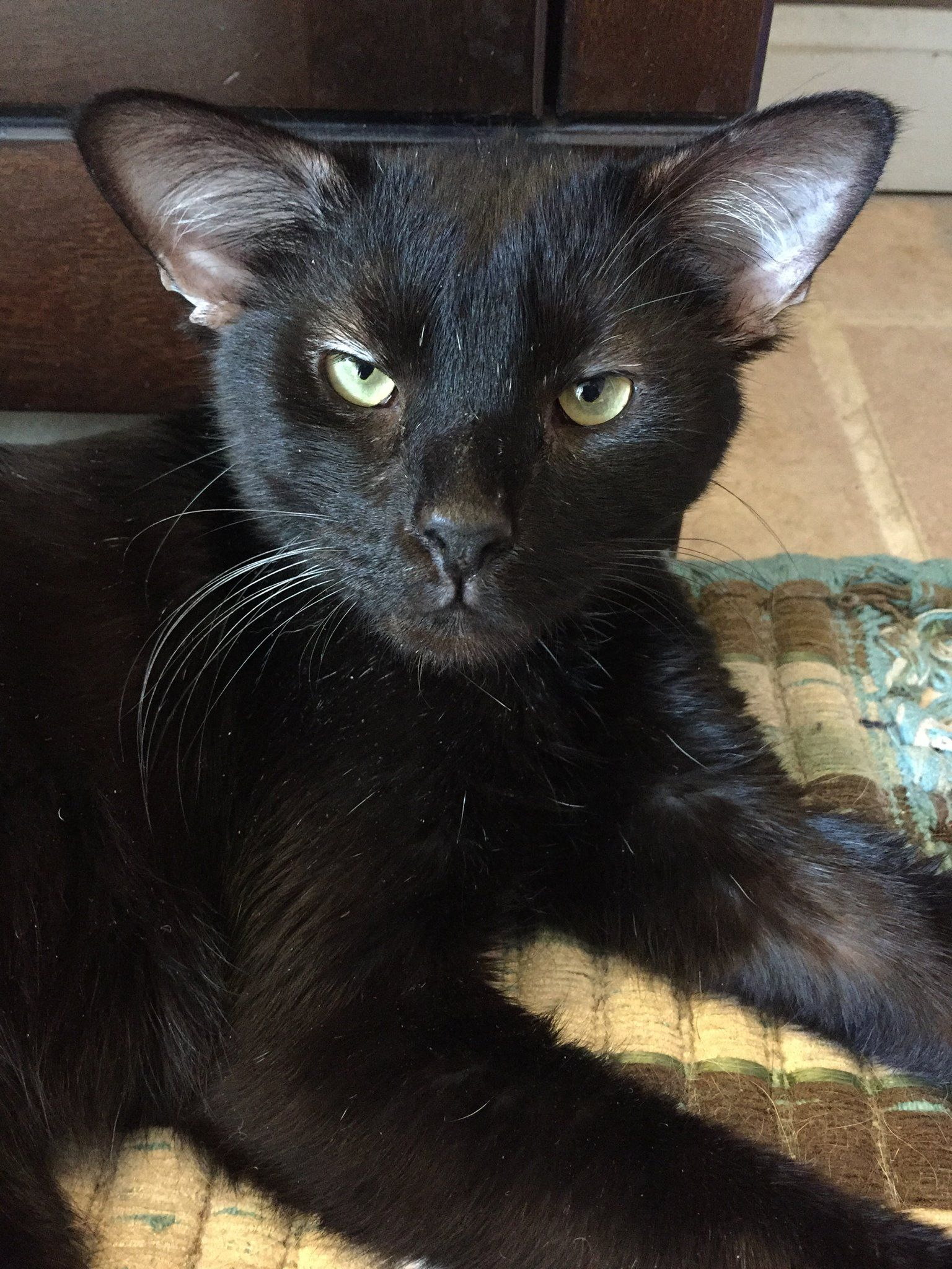 4 Eared Batman Cat Adopted By Girl Who Loves Superheroes Beautiful Cats Cats Cats And Kittens