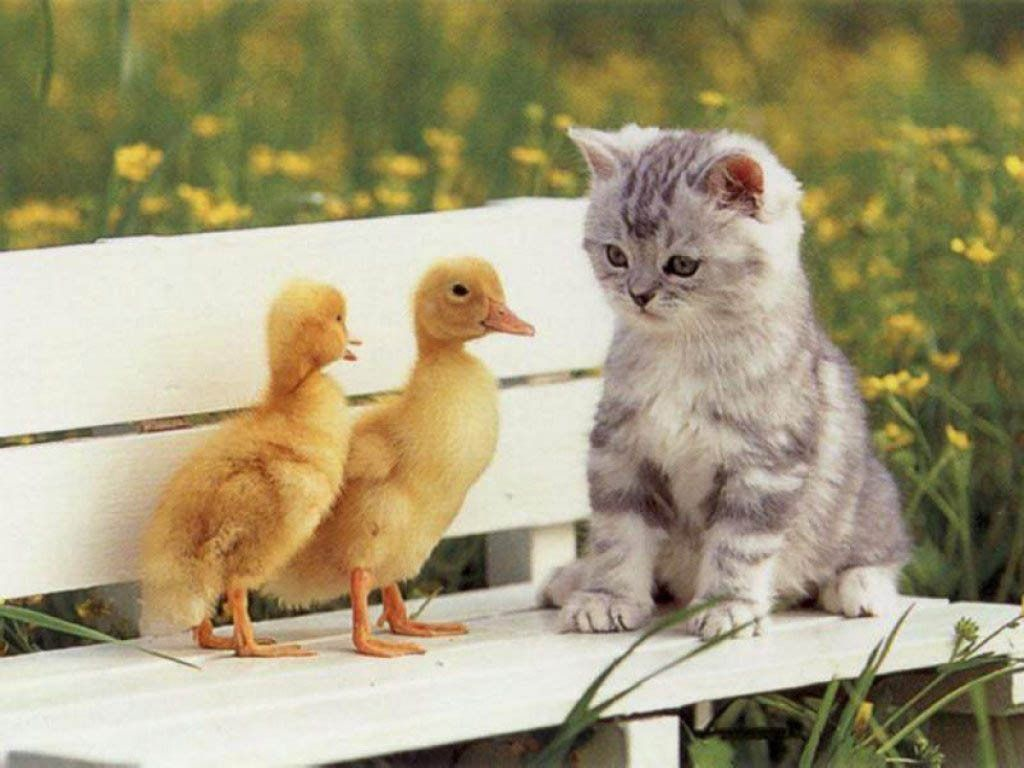 """* * KITTEN: """" So, yer ducks and I iz a kitteh. Weez kin form a new 'hang-out' togethers, BUT, I don'ts swim, just so ya knowz."""""""