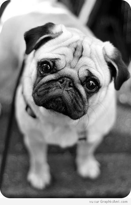 Chien Mignon Pugs Cute Pugs Baby Dogs