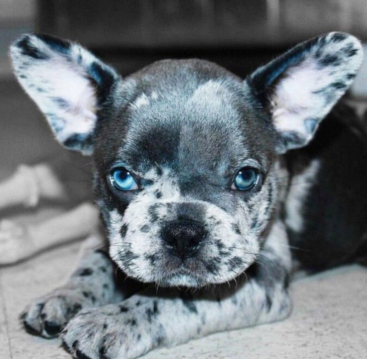 spotted gray, black, and white french bulldog puppy. | please gimme