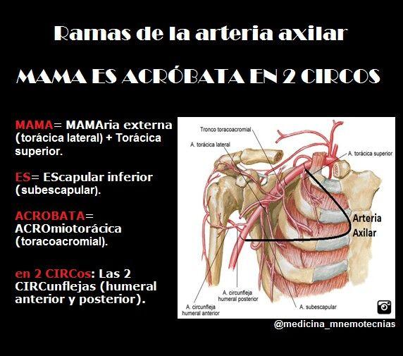 Ramas de la arteria axilar | Clases | Pinterest | Ramas, Medicina y ...