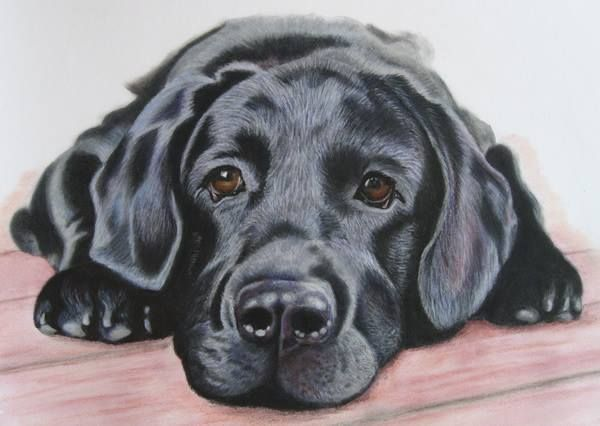 Black Labrador Portrait Dog Artist Pencil Drawing Commissions