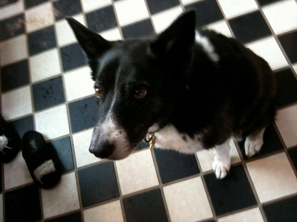 Michigan Deaf Border Collie Missing Urgent Missing In The Little Traverse Bay Area Off The Bootja Losing A Dog Border Collie Black And White Shorts