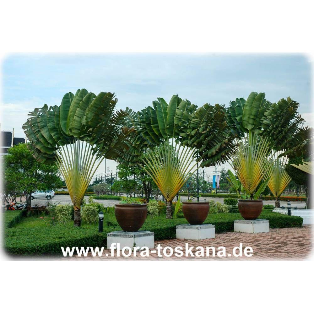 Ravenala Madagascariensis Baum Der Reisenden Pflanzen Flora Toskana