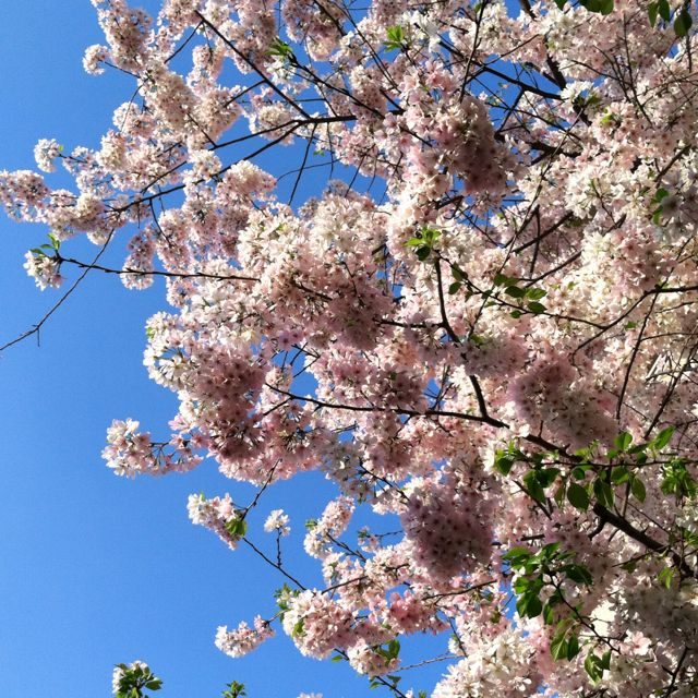 I M Excited For The Cherry Blossom Festival In Dc Here S The Tree Outsider Apartment Cherry Blossom Festival Cherry Blossom Tree Cherry Tree