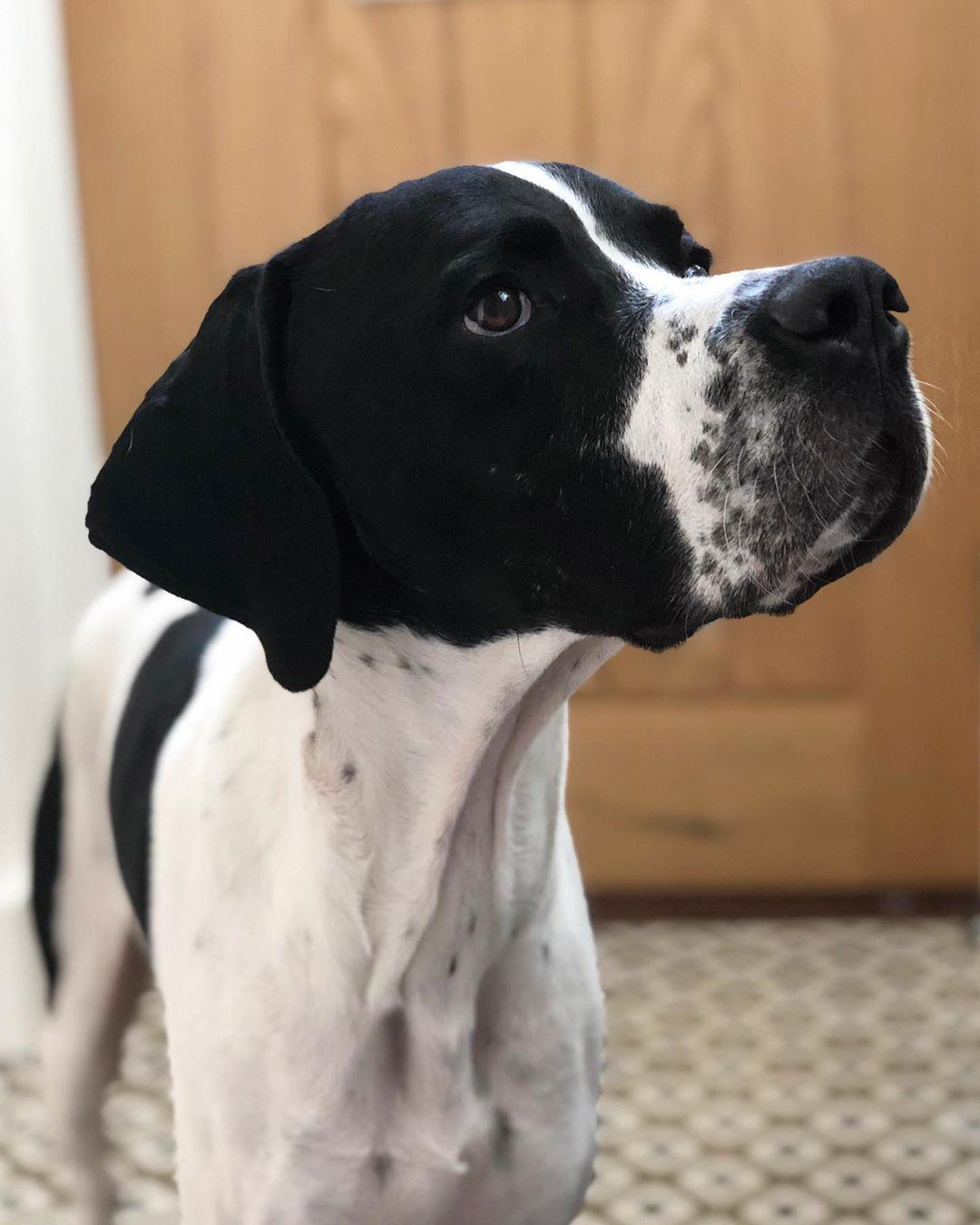 Credit : @bentleyandhudson (instagram)       Hurry up human I want to go on a walk now! ?? - - - #pointer #dogsofinstagram #dog #gsp #vizsla.