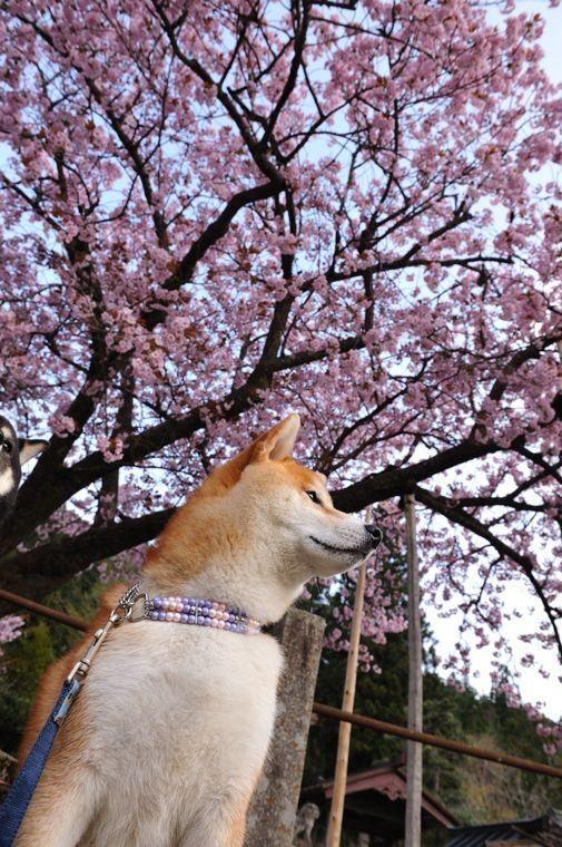 Pin By Coo Umi On Shiba Shiba Inu Akita Dog Animals