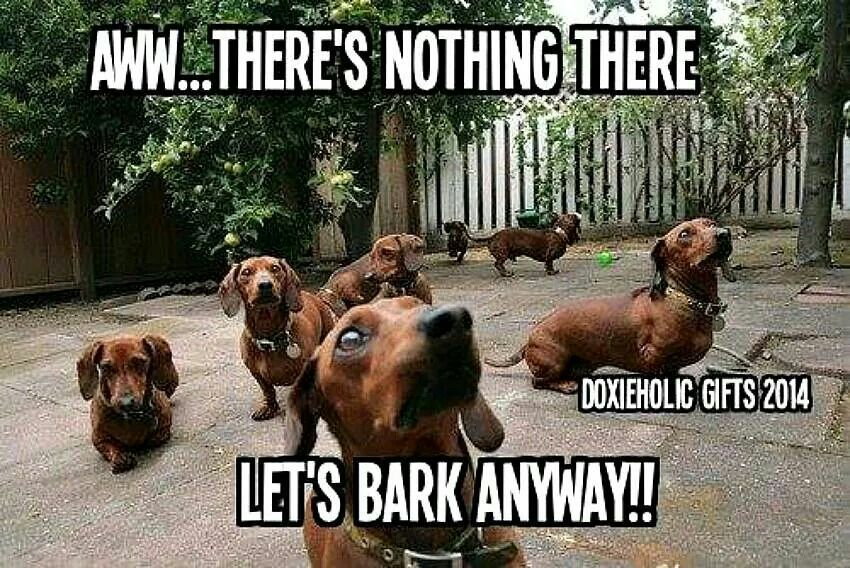 Bark Anyway Doxies Will Bark At Anything And Everyone Wiener