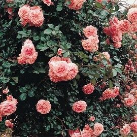 rosier grimpant 39 dream weaver 39 rosier guillot treillage rosier et vieux rose. Black Bedroom Furniture Sets. Home Design Ideas