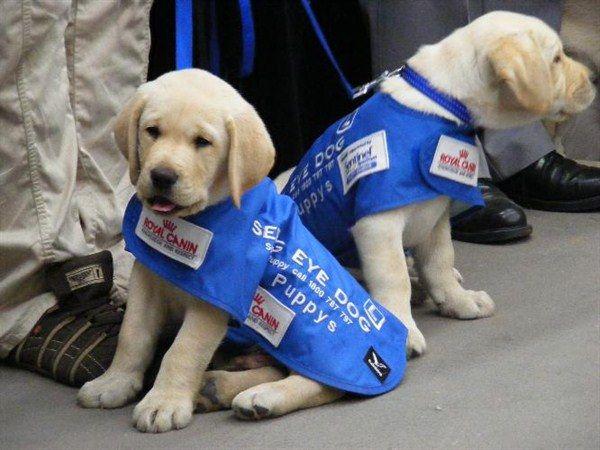Seeing Dog Australian Puppies Seeing Eye Dogs