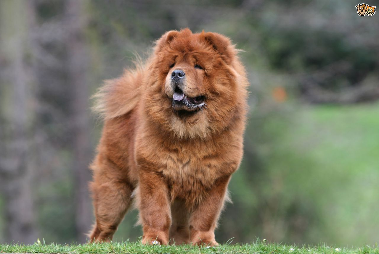 Chow Chow Dog Breeds Chow Dog Breed Dog Facts