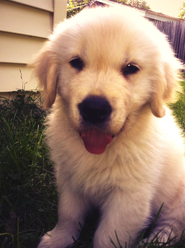 Just A Wittle Baby Golden Retriever Golden Retriever Baby