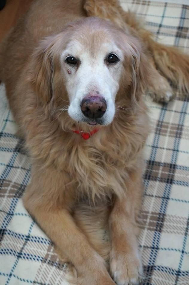 Roxie From As Good As Gold Golden Retriever Rescue Of Illinois Is