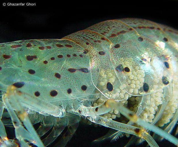 Amano shrimp | Aquariums | Amano shrimp, Shrimp, Fish