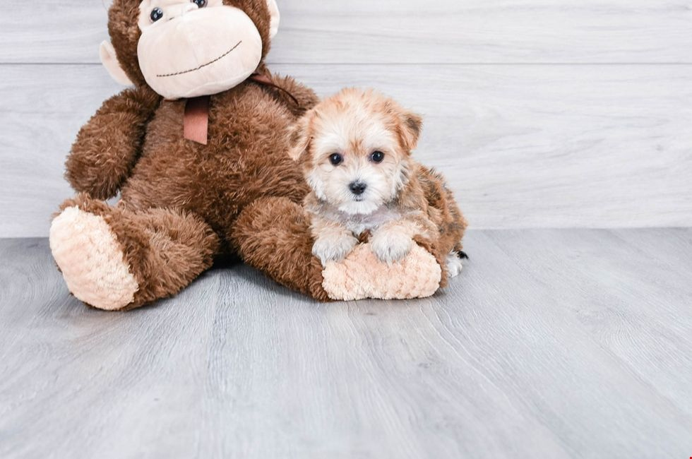 Small breed puppies for sale Teacup Pups for sale in