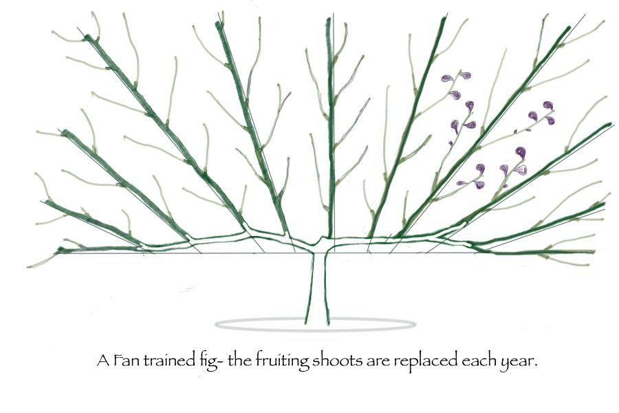 Fan Training Reads Nursery Espalier Fruit Trees Trees To Plant Fig Tree