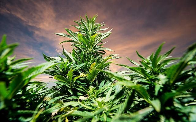 Marijuana Likely to Become Stronger Due to Global Warming | High Times