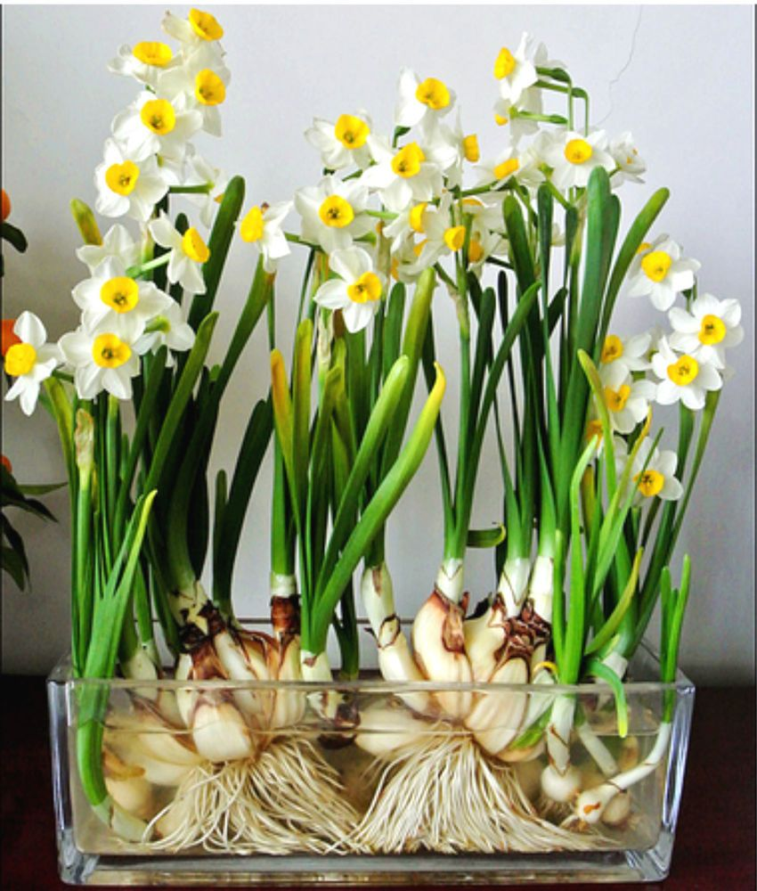 2 Paperwhites Indoor Daffodil Narcissus Bulbs 1315cm