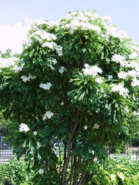 Pin By D B On Fl Trees Palms Bamboo Lg Shrubs White Flowering Trees Plumeria Pudica Plumeria Tree