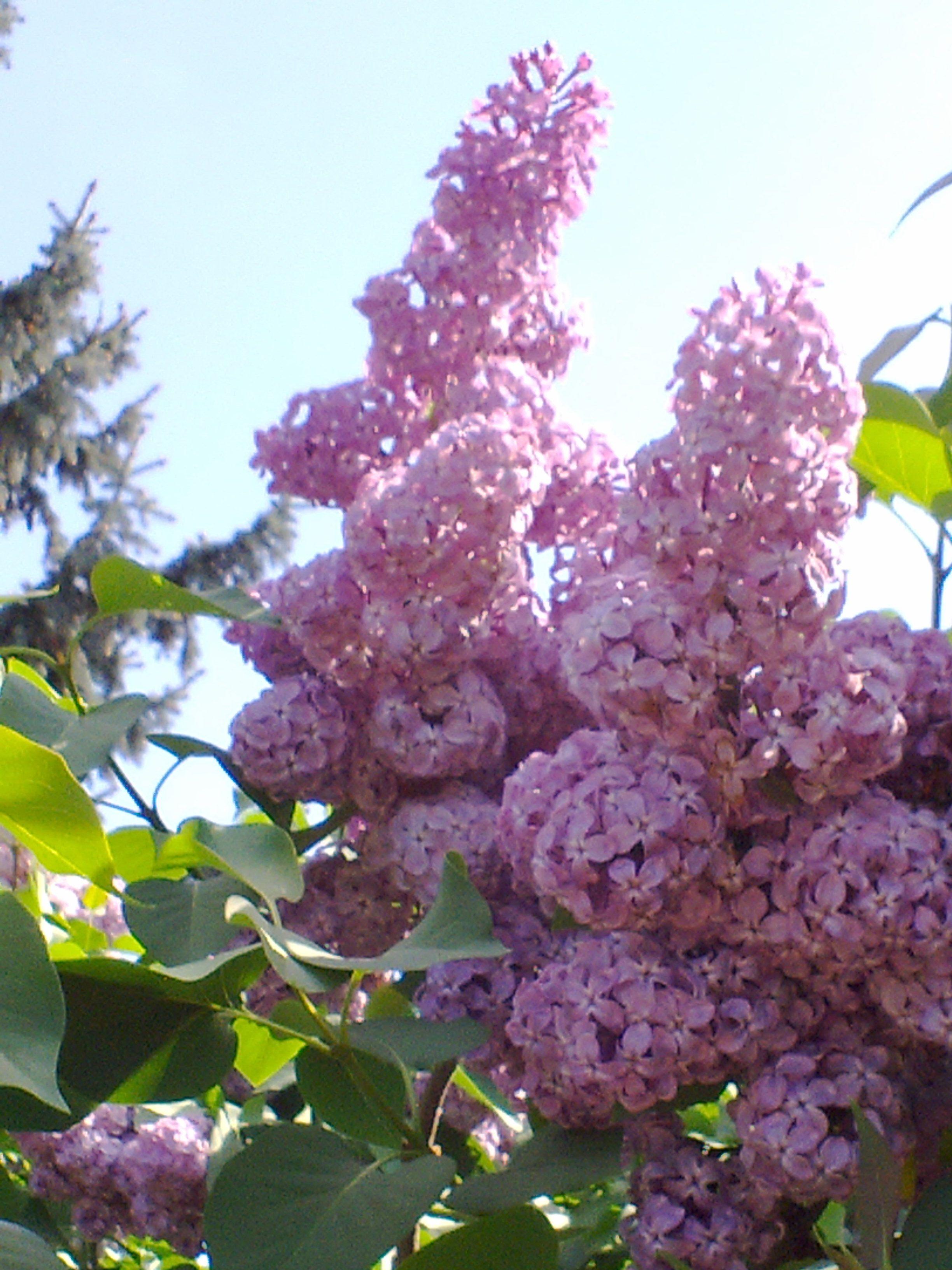 Lila orgona kedveskéim pinterest