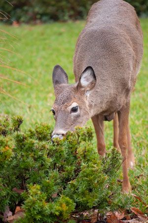 Best option to keep deer away from plants