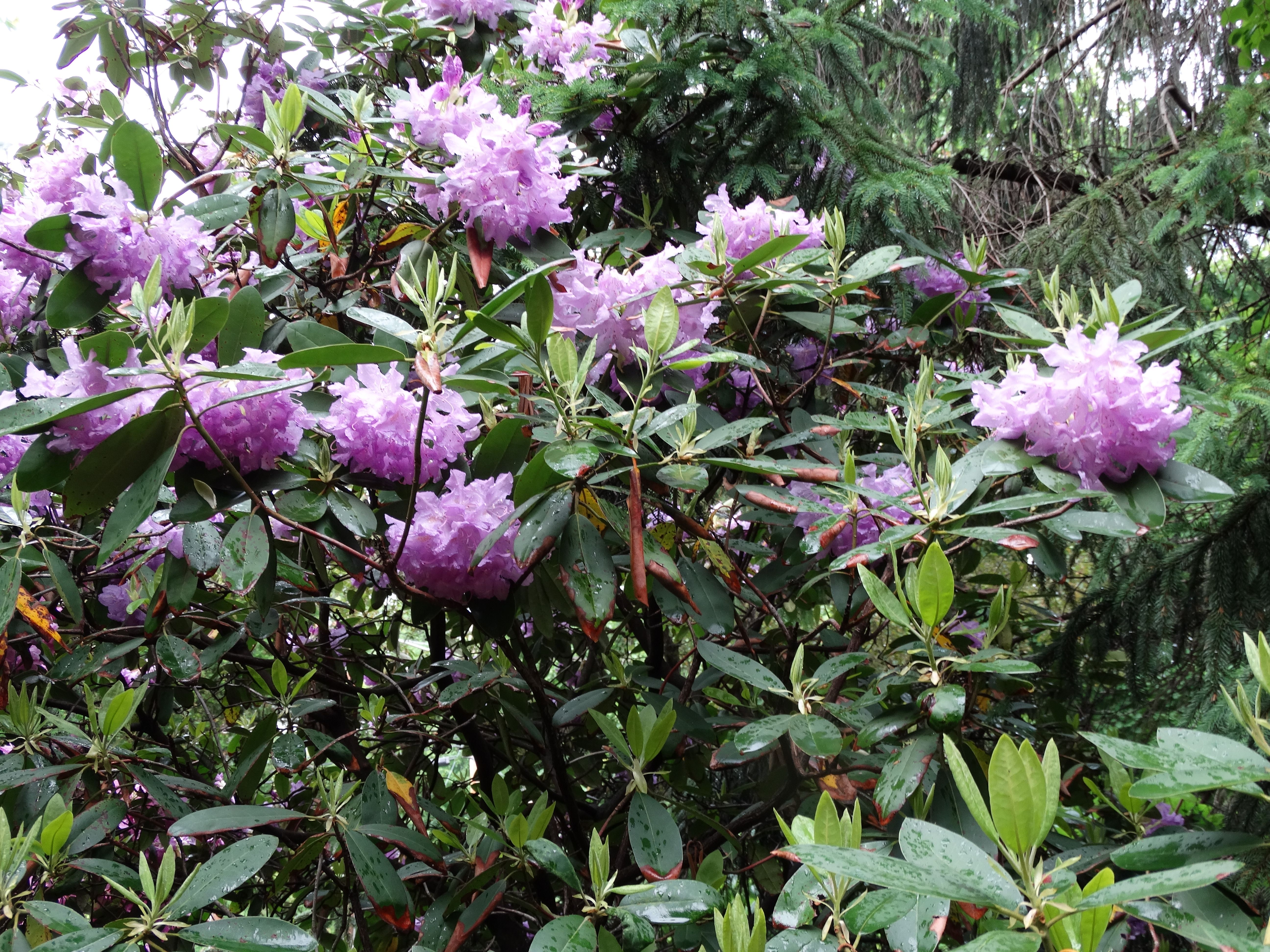 Rhododendron blooms in late May and early June in Western