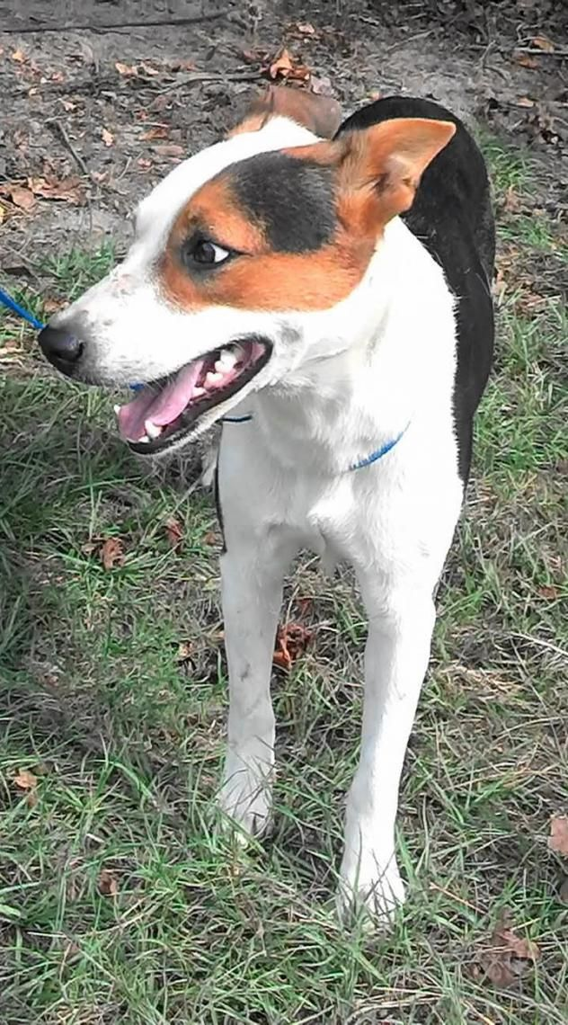 Adopt Daphne on Dogs, Australian cattle dog, Australian